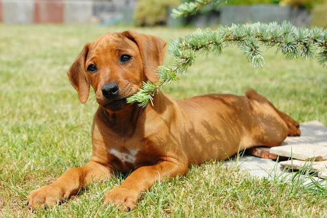 Struvite Urolithiasis in Dogs - Symptoms, Causes, Diagnosis, Treatment, Recovery, Management, Cost