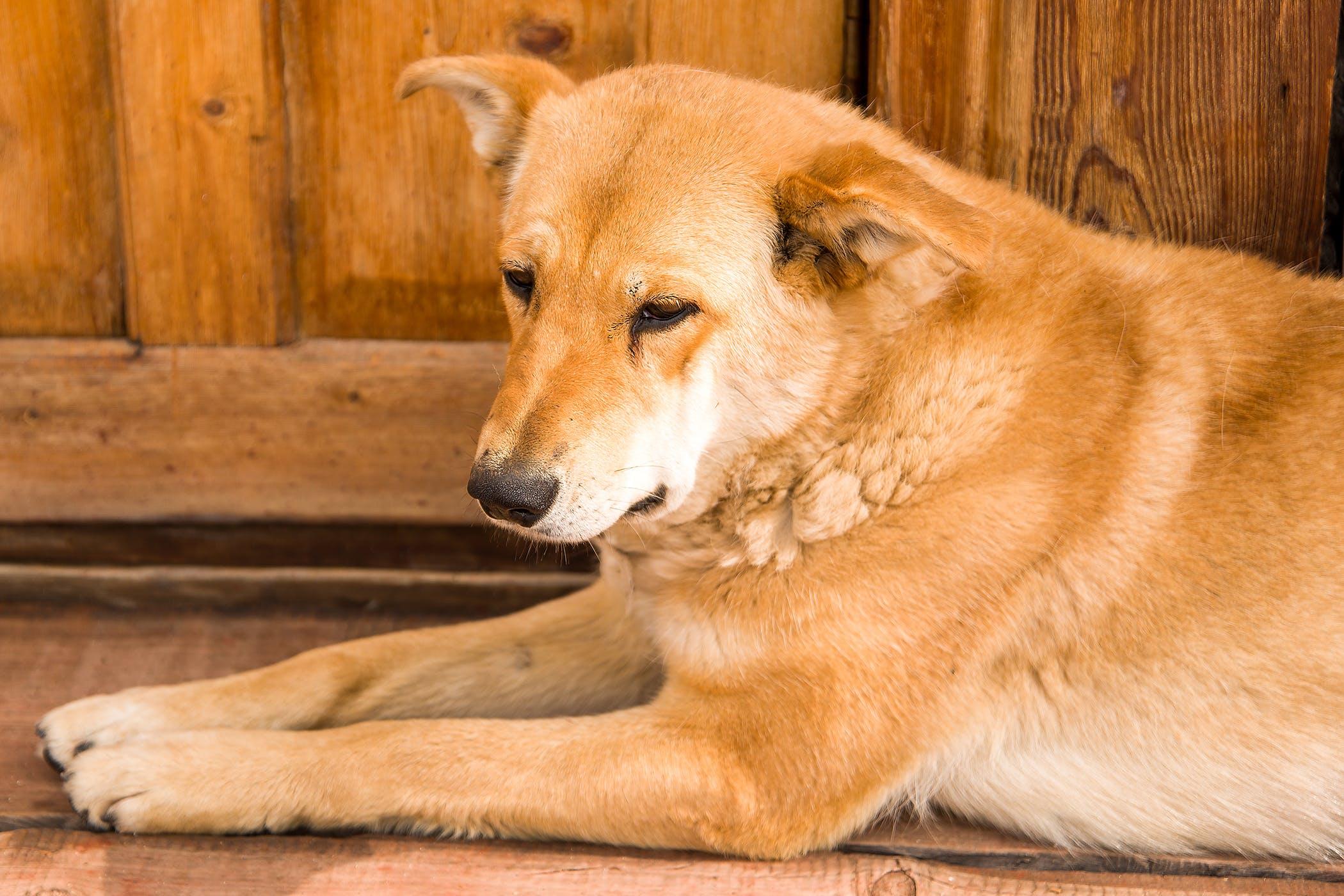 Subtrochanteric Derotational Varus Osteotomy in Dogs