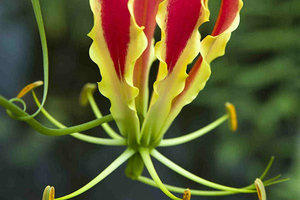 Superb Lily Poisoning in Dogs - Symptoms, Causes, Diagnosis, Treatment, Recovery, Management, Cost