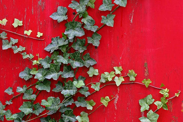 Sweetheart Ivy Poisoning in Dogs - Symptoms, Causes, Diagnosis, Treatment, Recovery, Management, Cost