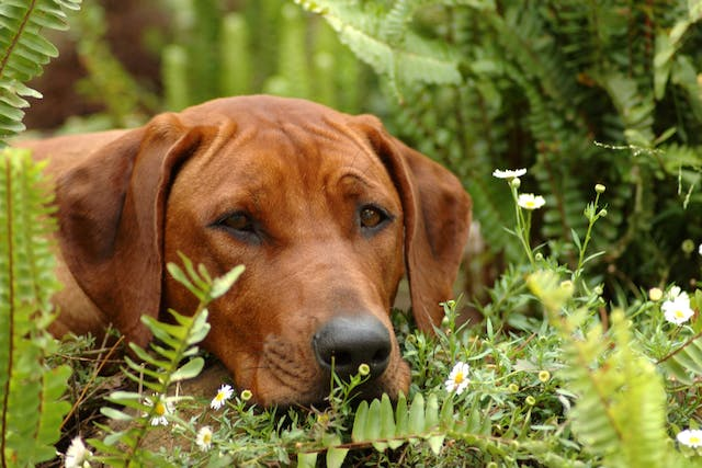 Synchysis Scintillans in Dogs - Symptoms, Causes, Diagnosis, Treatment, Recovery, Management, Cost
