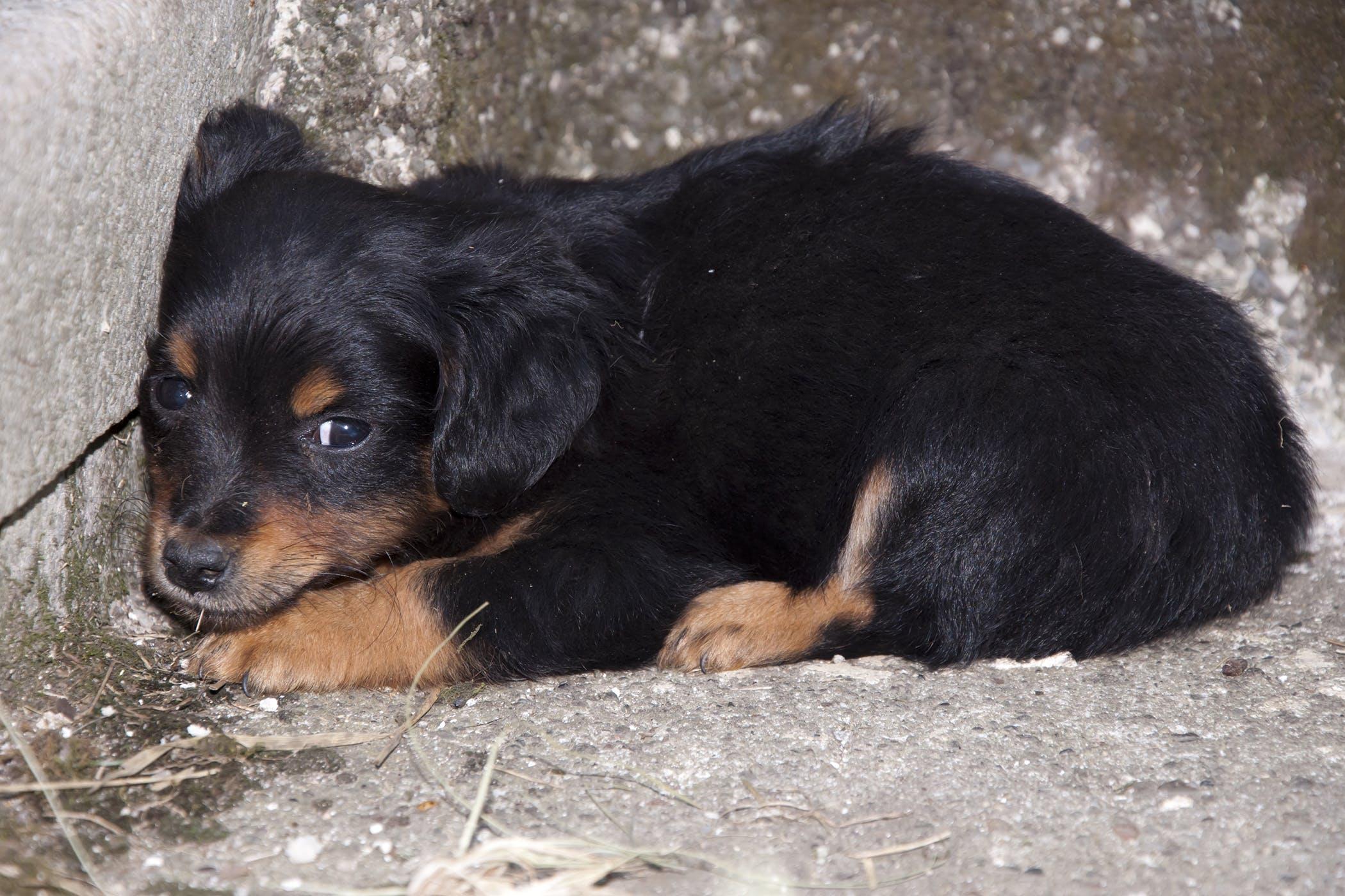 Syringomyelia (SM) in Dogs - Symptoms, Causes, Diagnosis