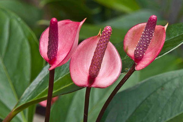 Tail Flower Poisoning in Dogs - Symptoms, Causes, Diagnosis, Treatment, Recovery, Management, Cost
