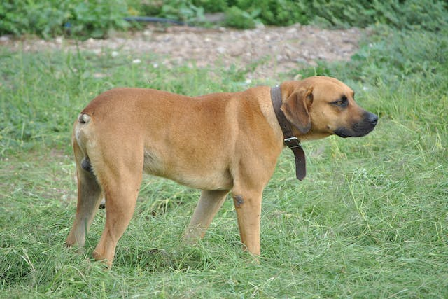 Tail Trauma in Dogs - Symptoms, Causes, Diagnosis, Treatment, Recovery, Management, Cost