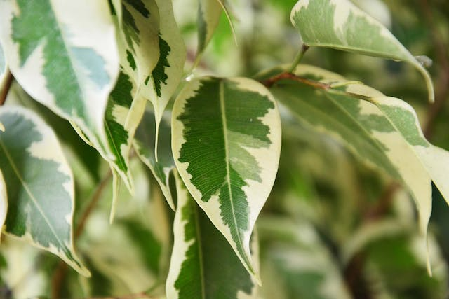 Taro Vine Poisoning in Dogs - Symptoms, Causes, Diagnosis, Treatment, Recovery, Management, Cost