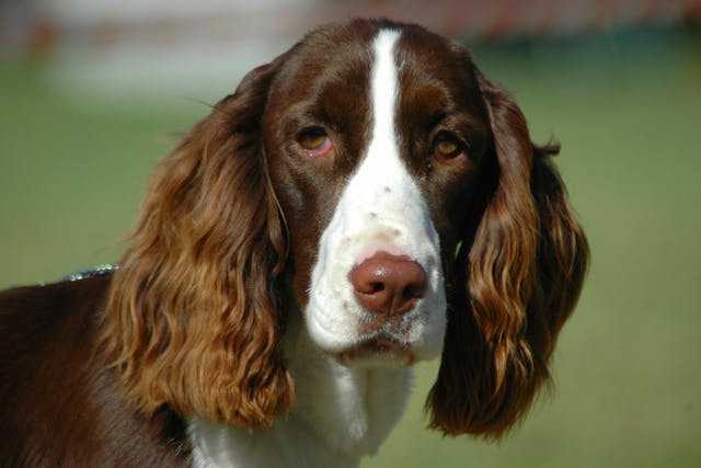 Testicular Torsion in Dogs - Symptoms, Causes, Diagnosis, Treatment, Recovery, Management, Cost