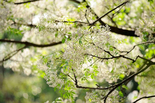 Texas Umbrella Tree Poisoning in Dogs - Symptoms, Causes, Diagnosis, Treatment, Recovery, Management, Cost