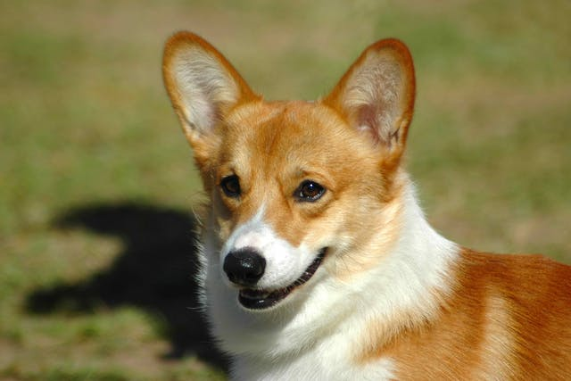 Thiamine Deficiency in Dogs - Symptoms, Causes, Diagnosis, Treatment, Recovery, Management, Cost