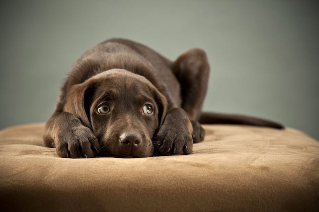 Thunderstorm Phobia in Dogs - Symptoms, Causes, Diagnosis, Treatment, Recovery, Management, Cost