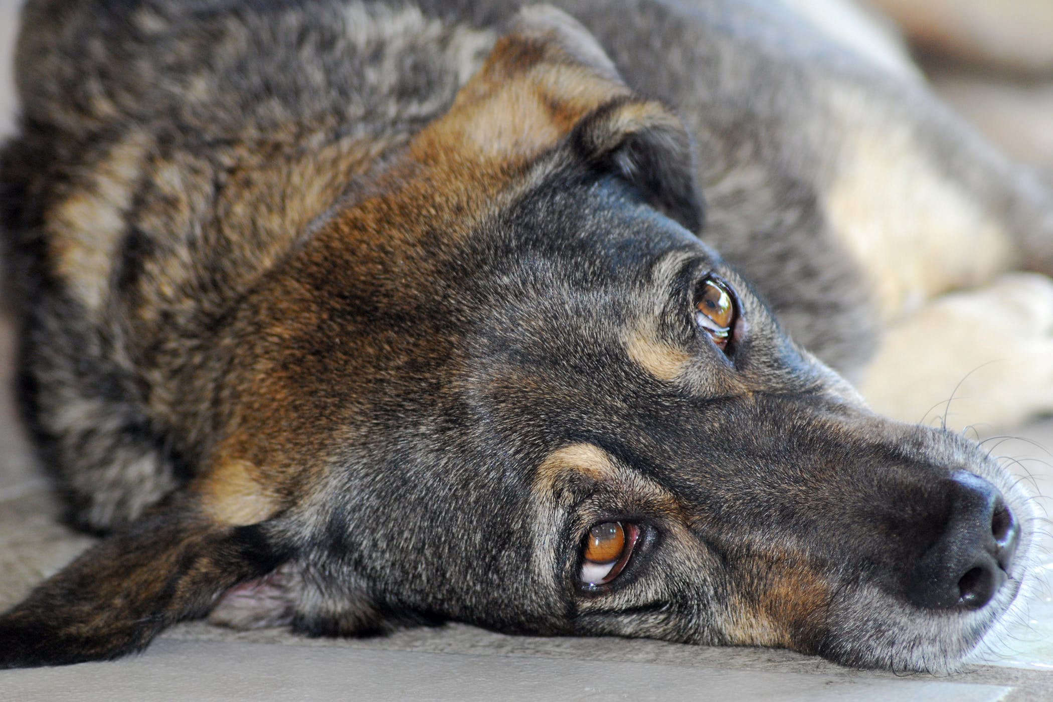 Thymectomy in Dogs