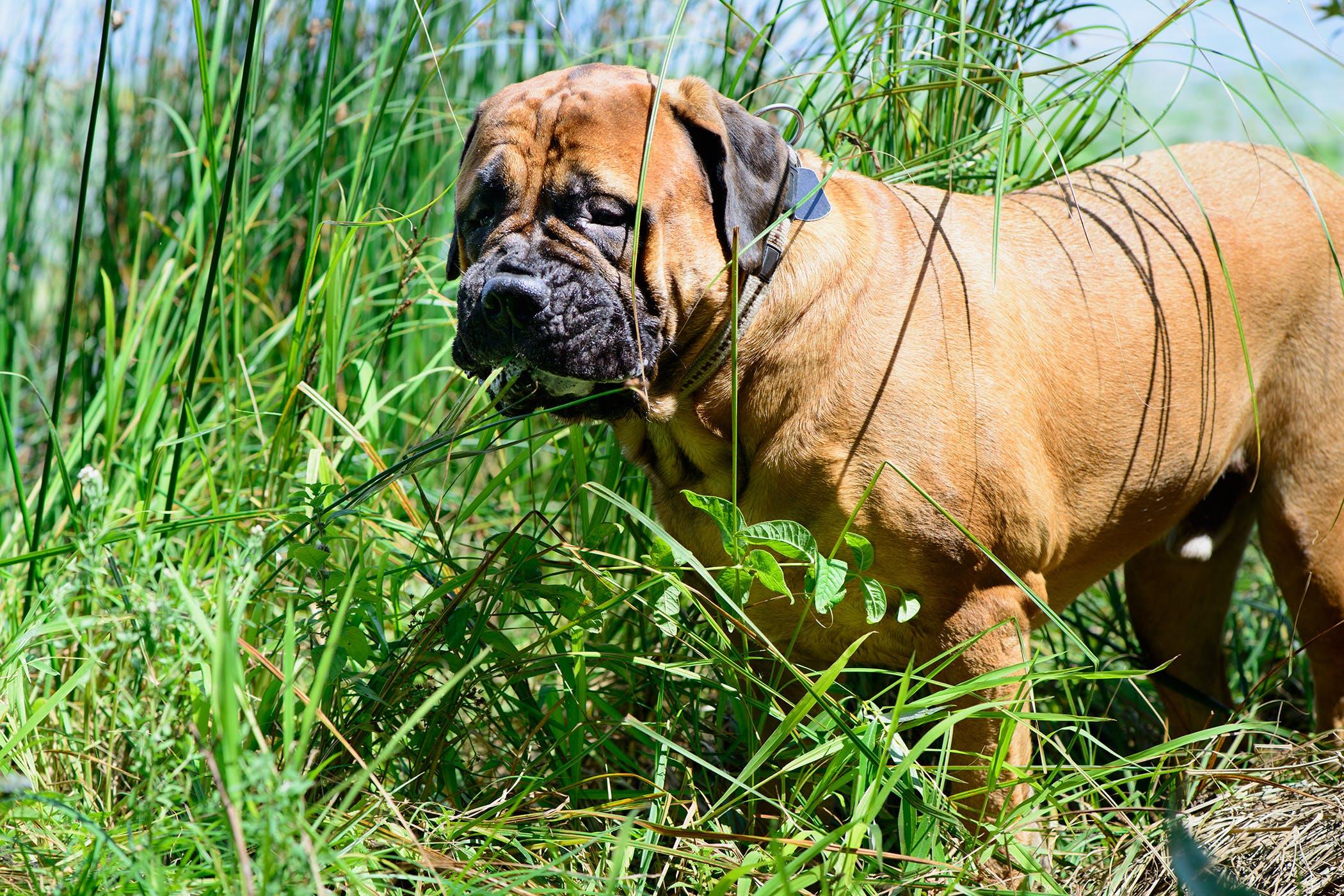 Thyroid Hormone Supplementation in Dogs