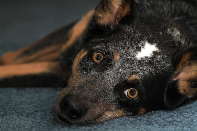 Thyroid Poisoning in Dogs - Symptoms, Causes, Diagnosis, Treatment, Recovery, Management, Cost