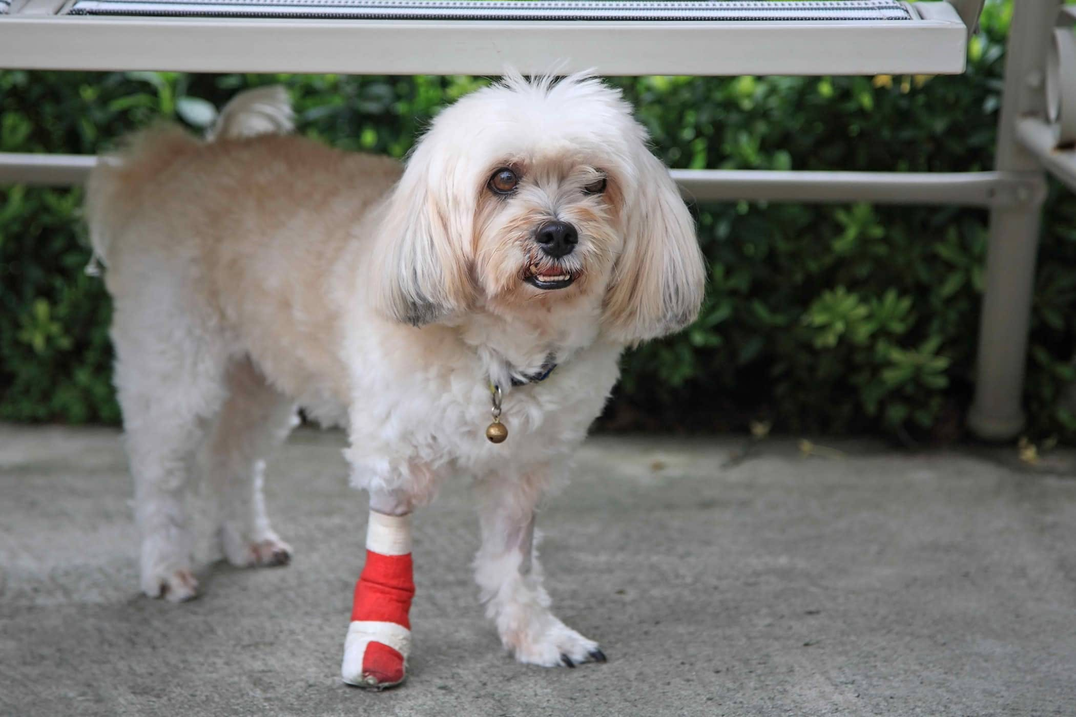 Tibial Tuberosity Advancement in Dogs