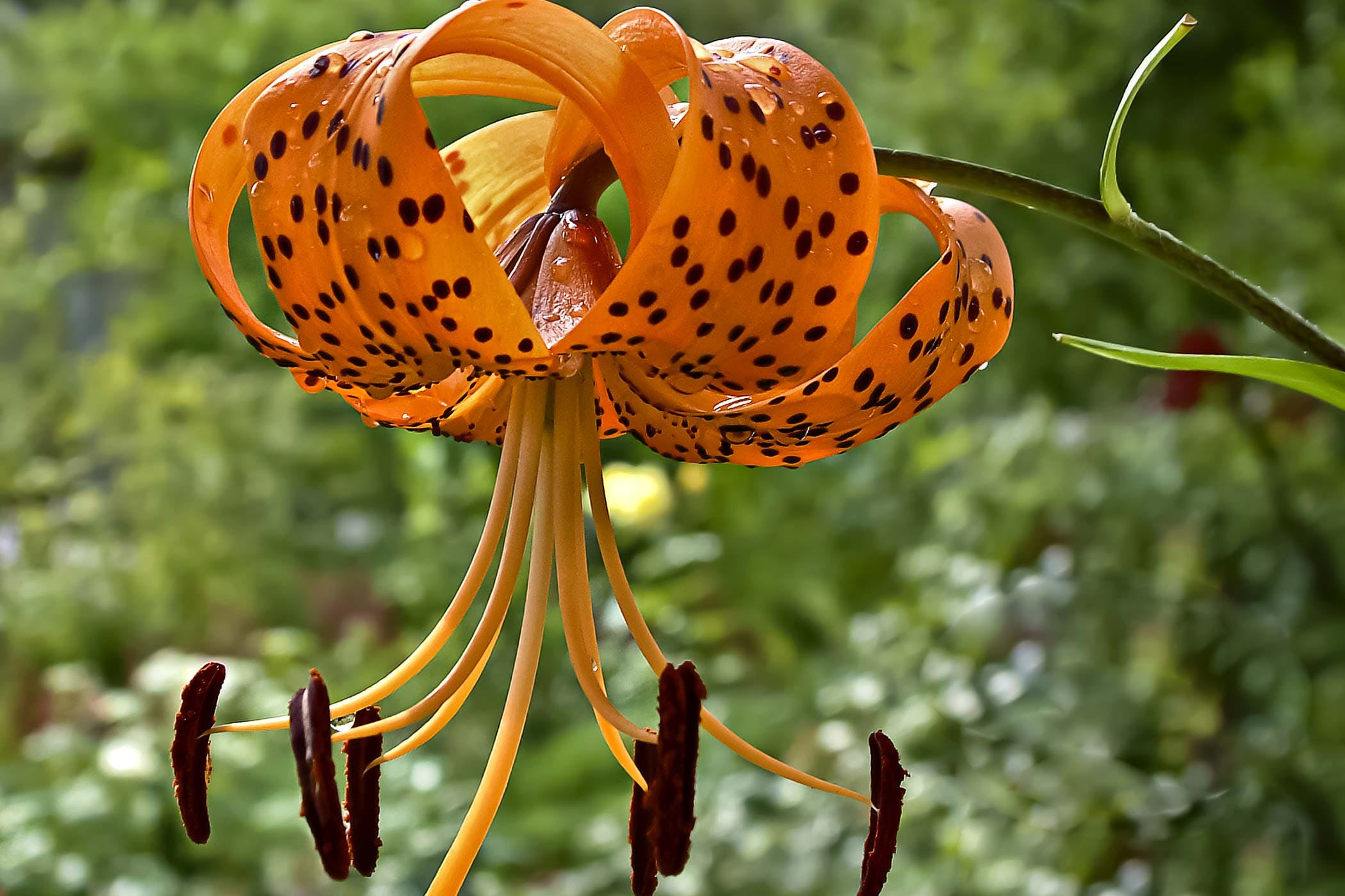 Lily poisoning in dogs symptoms causes diagnosis treatment tiger lily poisoning in dogs izmirmasajfo Images