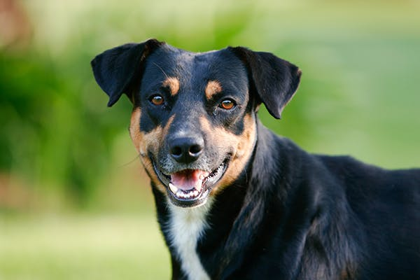 Tooth Eruption and Exfoliation in Dogs - Symptoms, Causes, Diagnosis, Treatment, Recovery, Management, Cost