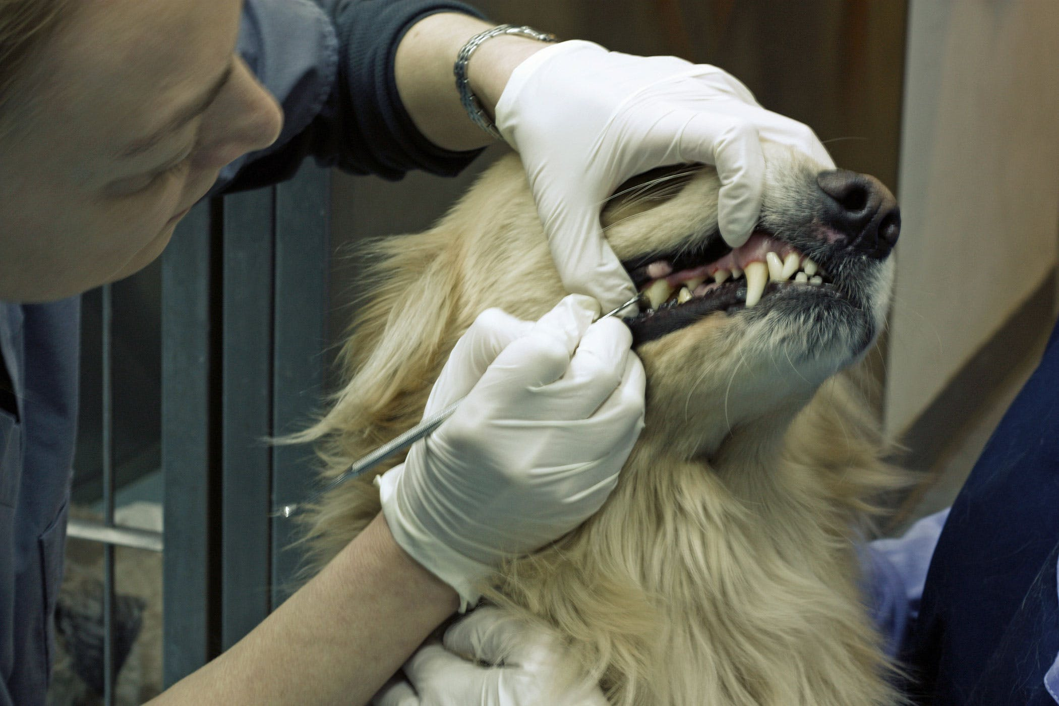 Tooth Fracture in Dogs - Symptoms, Causes, Diagnosis