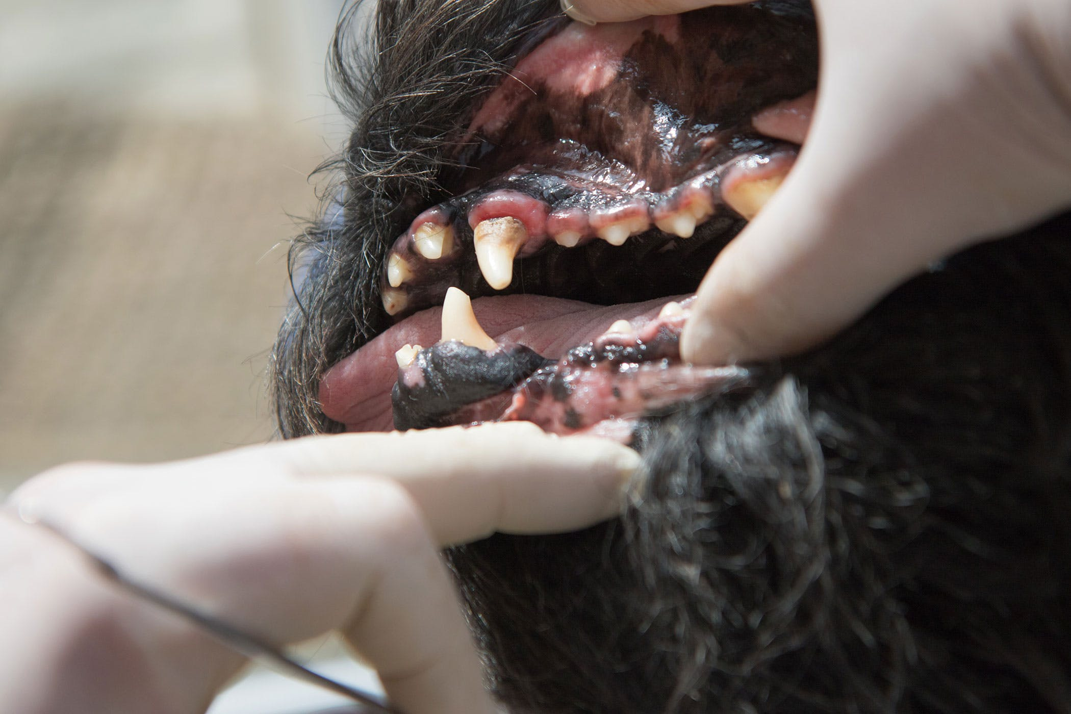 Tooth Root Abcess In Dogs Symptoms