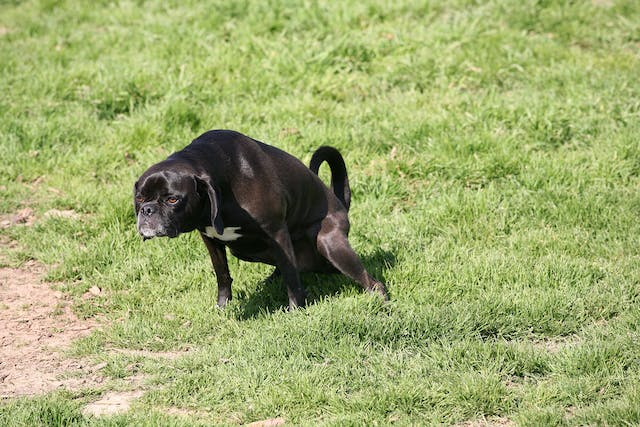 Transitional Cell Carcinoma of the Urinary Tract in Dogs - Symptoms, Causes, Diagnosis, Treatment, Recovery, Management, Cost