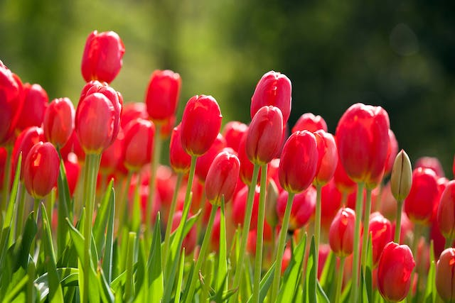 Tulip Poisoning in Dogs - Symptoms, Causes, Diagnosis, Treatment, Recovery, Management, Cost