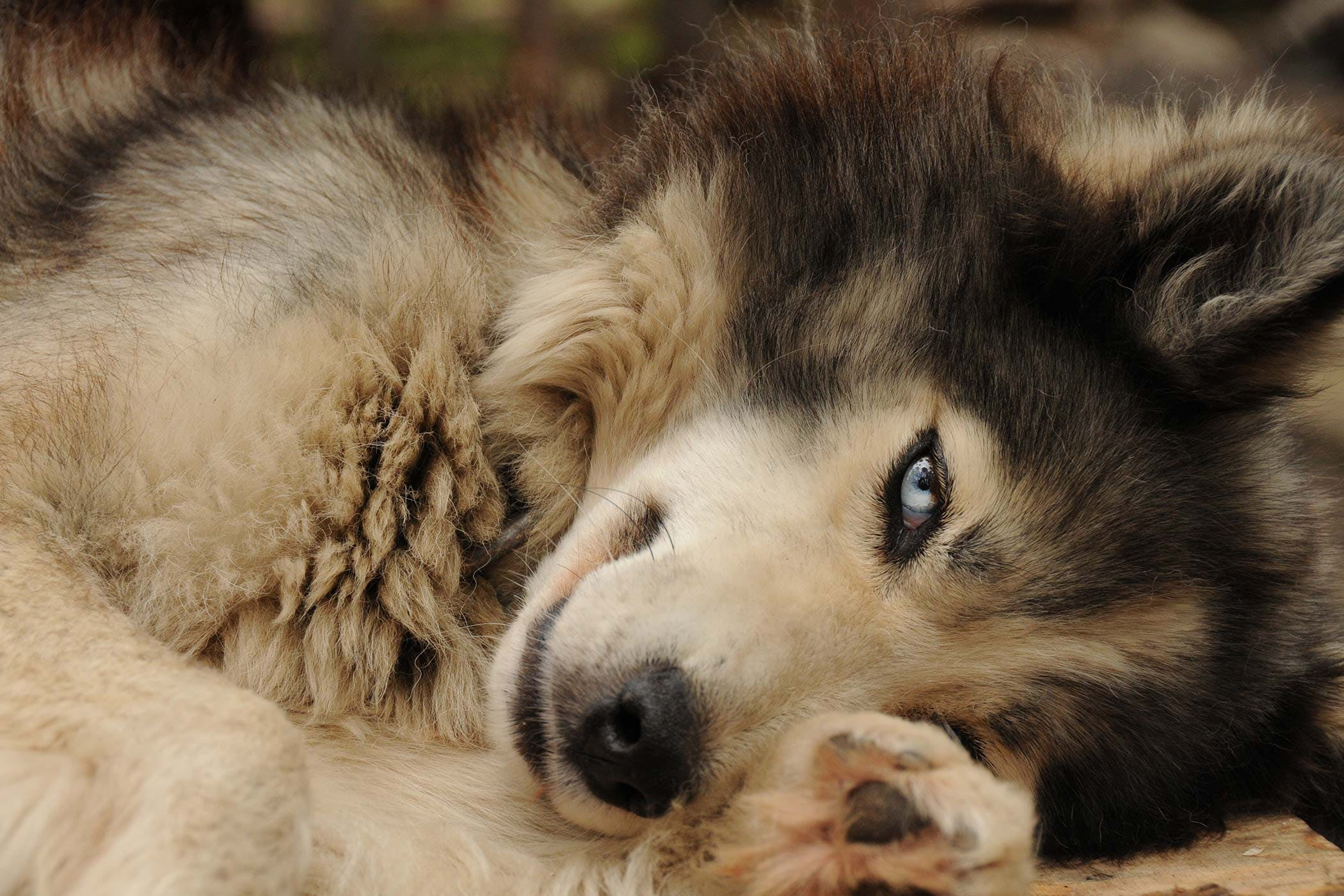 Tumor of the Eye in Dogs - Symptoms, Causes, Diagnosis, Treatment ...