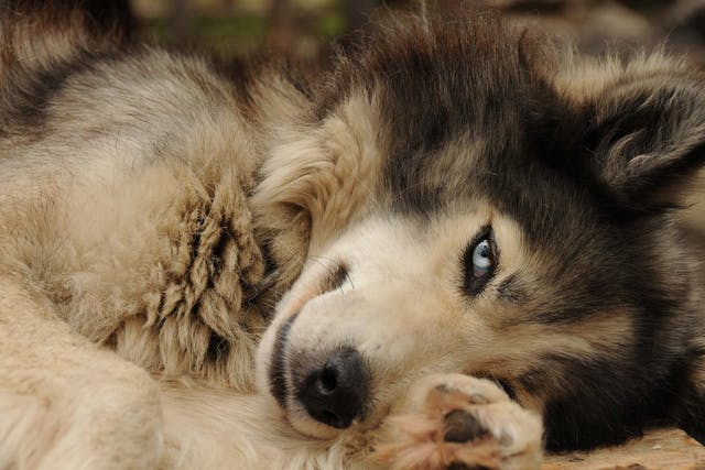 Tumor of the Eye in Dogs - Symptoms, Causes, Diagnosis, Treatment, Recovery, Management, Cost