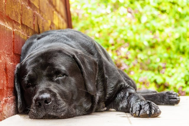 Tumor of the Thymus in Dogs - Symptoms, Causes, Diagnosis, Treatment, Recovery, Management, Cost