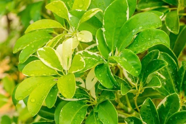 Umbrella Tree Poisoning in Dogs - Symptoms, Causes, Diagnosis, Treatment, Recovery, Management, Cost