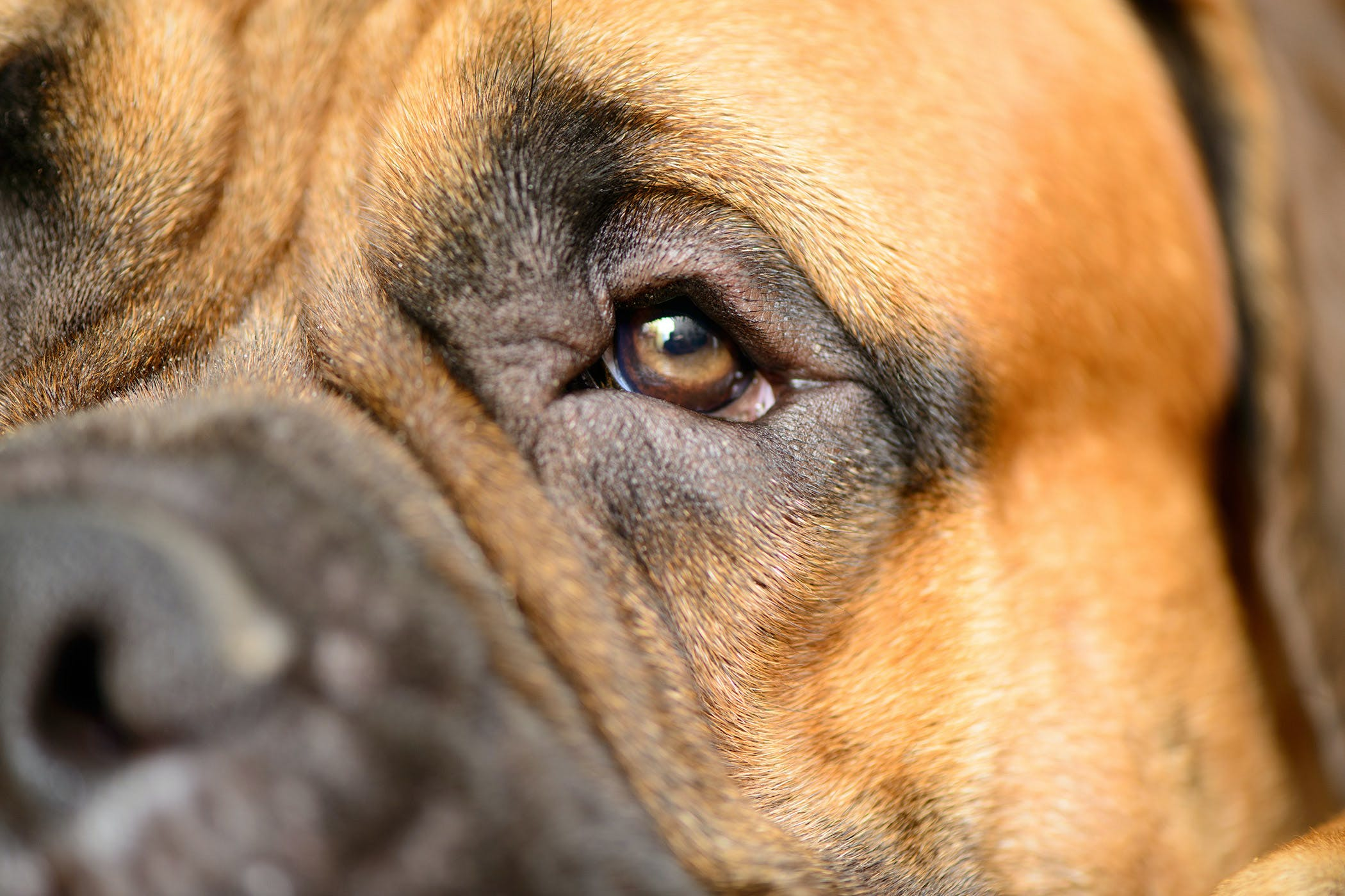 dilated pupil in dog