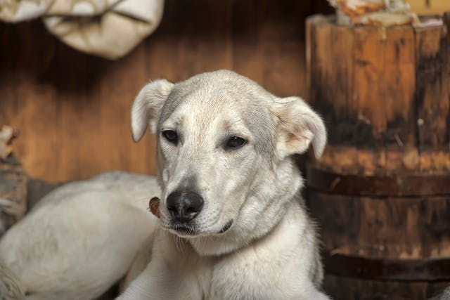 Urethral Neoplasia in Dogs - Symptoms, Causes, Diagnosis, Treatment, Recovery, Management, Cost