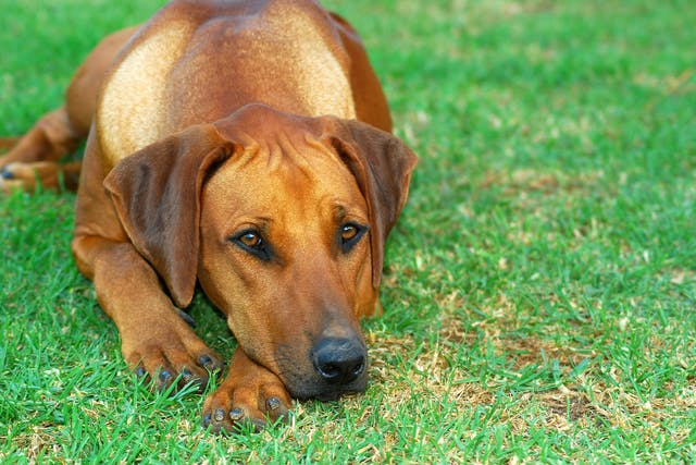 Urethrotomy in Dogs - Conditions Treated, Procedure, Efficacy, Recovery, Cost, Considerations, Prevention