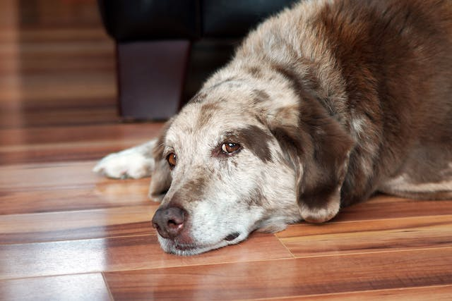 Urinary Tract Obstruction in Dogs - Symptoms, Causes, Diagnosis, Treatment, Recovery, Management, Cost