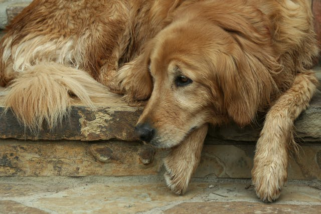 Vaginal Prolapse in Dogs - Symptoms, Causes, Diagnosis, Treatment, Recovery, Management, Cost