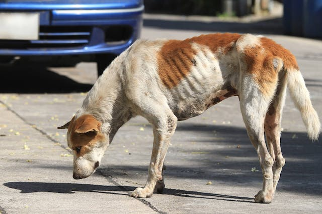 Vehicular Trauma in Dogs - Symptoms, Causes, Diagnosis, Treatment, Recovery, Management, Cost