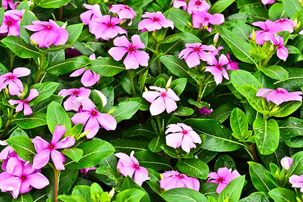 Vinca Poisoning in Dogs - Symptoms, Causes, Diagnosis, Treatment, Recovery, Management, Cost