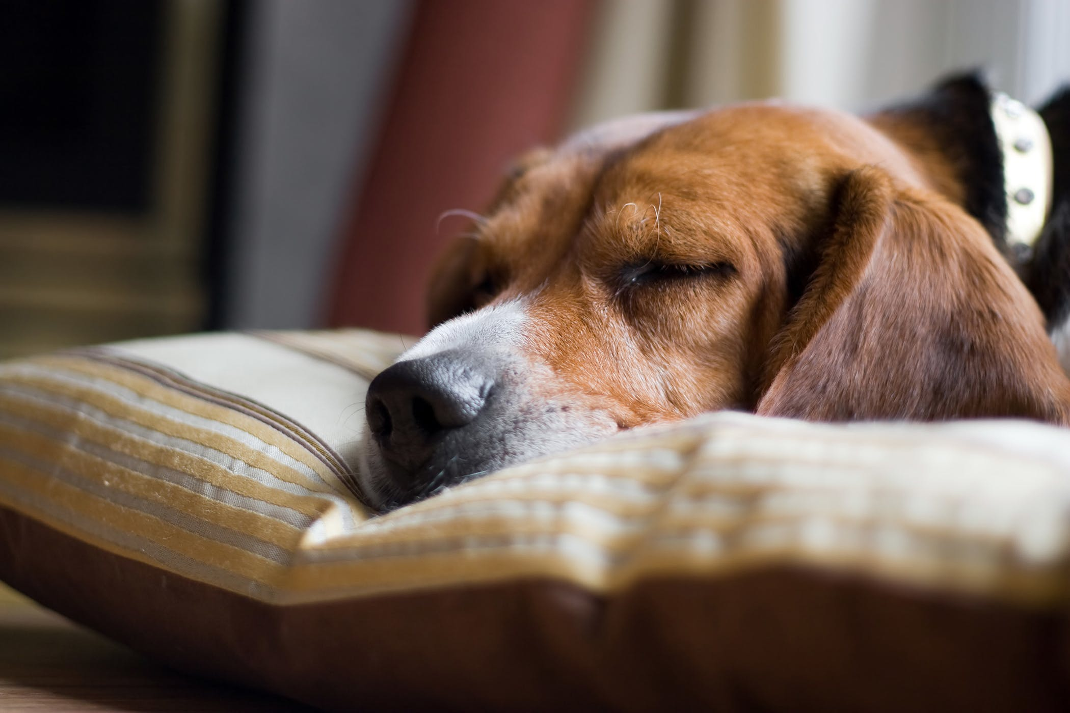 dog sleeping on a pillow