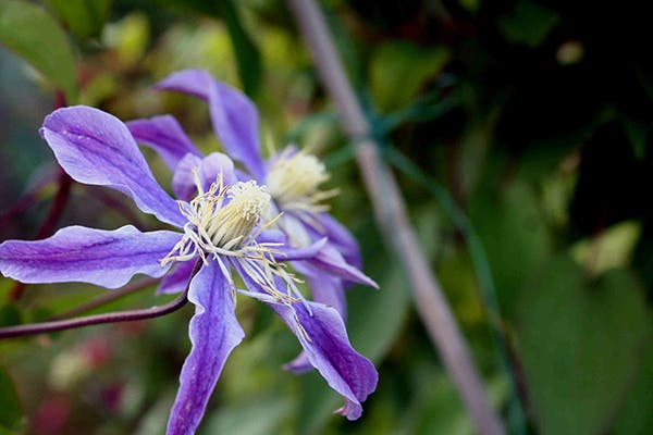 Virgin's Bower in Dogs - Symptoms, Causes, Diagnosis, Treatment, Recovery, Management, Cost
