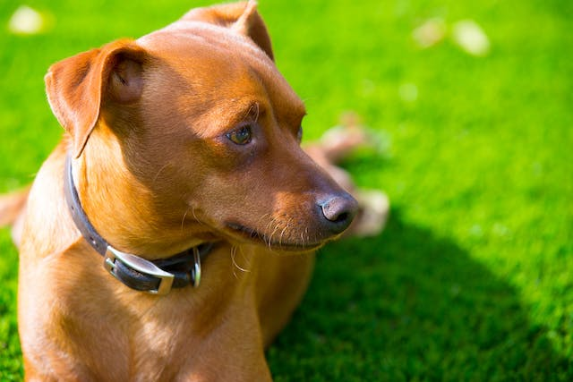 Vogt-Koyanagi-Harada Syndrome in Dogs - Symptoms, Causes, Diagnosis, Treatment, Recovery, Management, Cost