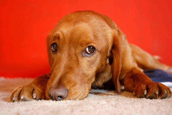 Vomiting in Dogs - Symptoms, Causes, Diagnosis, Treatment, Recovery, Management, Cost