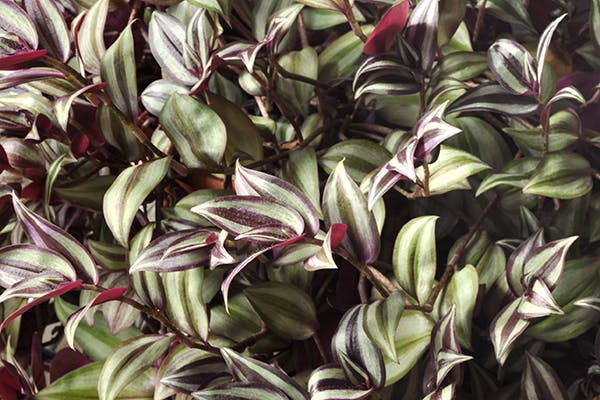 Wandering Jew Poisoning in Dogs - Symptoms, Causes, Diagnosis, Treatment, Recovery, Management, Cost