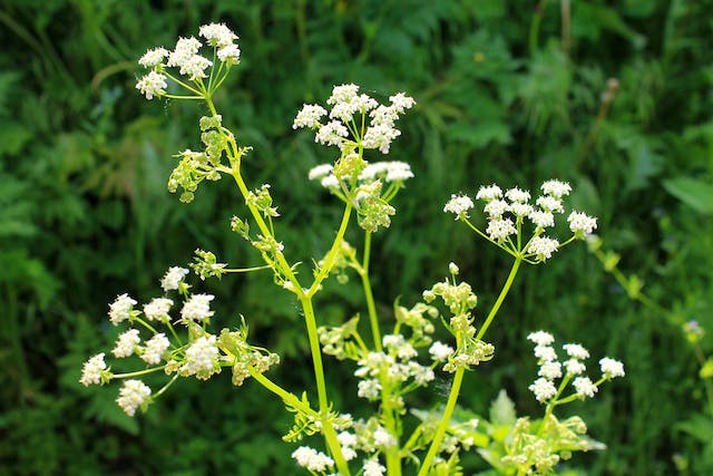 Water Hemlock Poisoning in Dogs - Symptoms, Causes, Diagnosis, Treatment, Recovery, Management, Cost