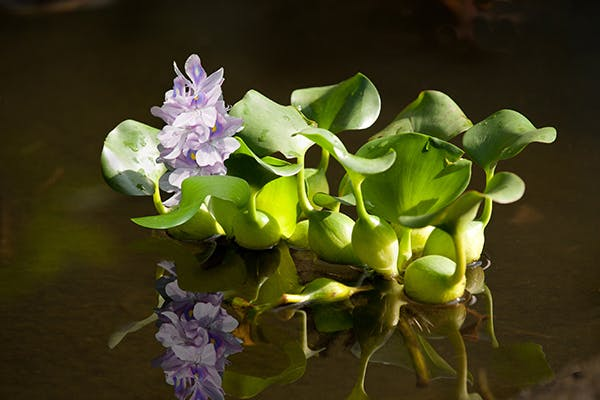 water hyacinth poisoning in dogs