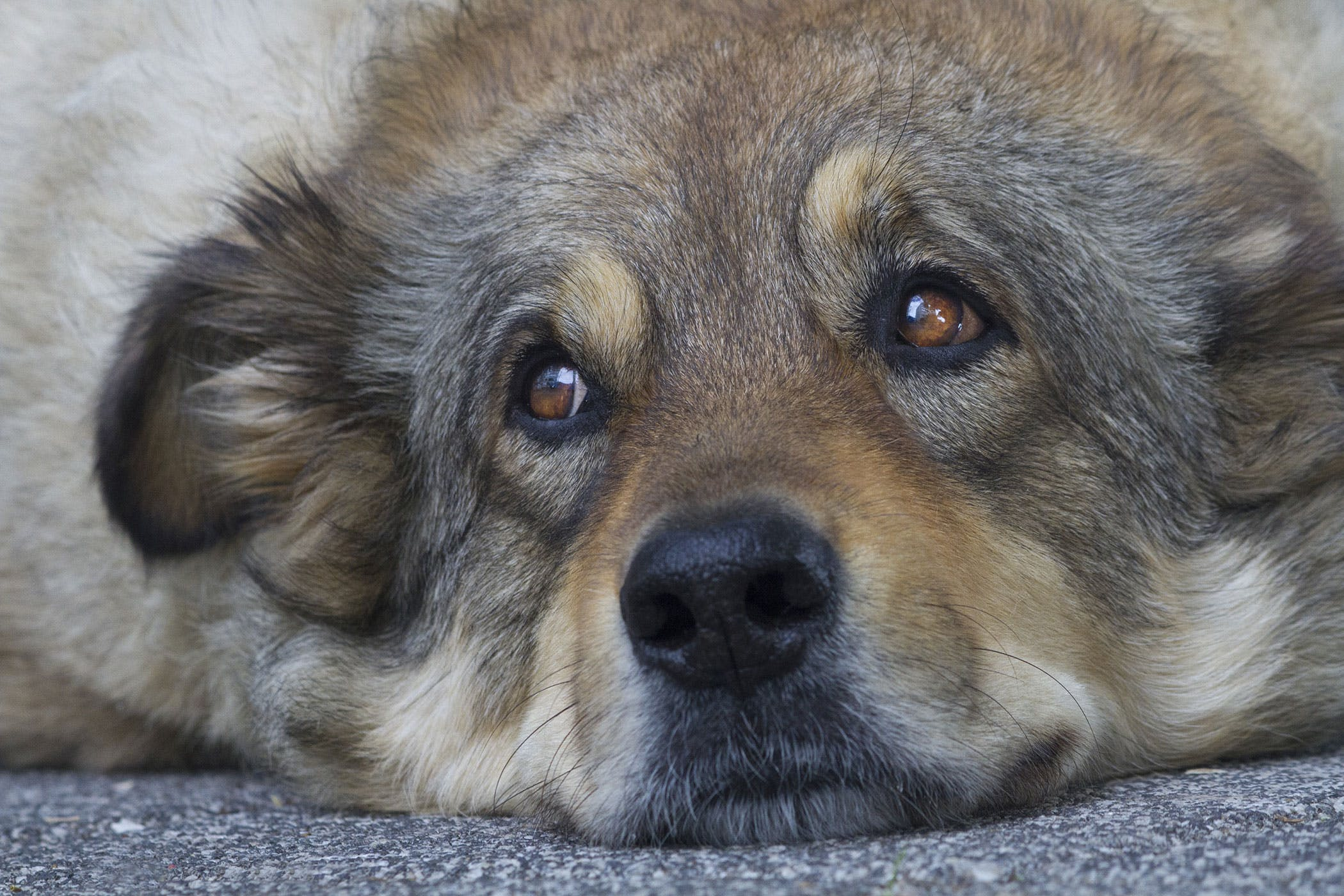 Watery Eyes In Dogs Symptoms Causes Diagnosis Treatment