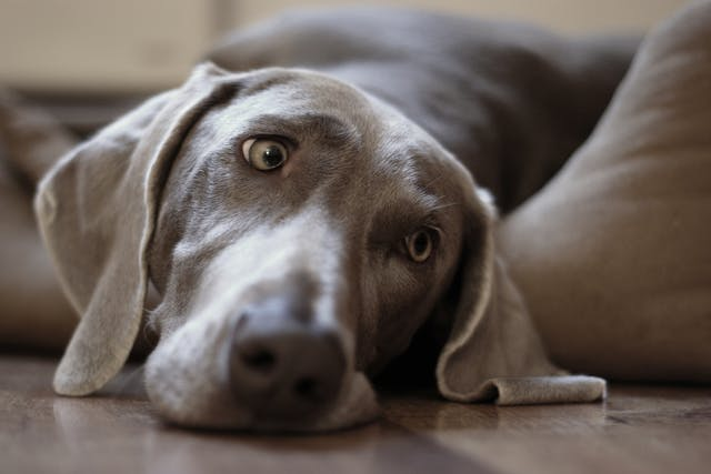 Weimaraner Immunodeficiency Syndrome in Dogs - Symptoms, Causes, Diagnosis, Treatment, Recovery, Management, Cost