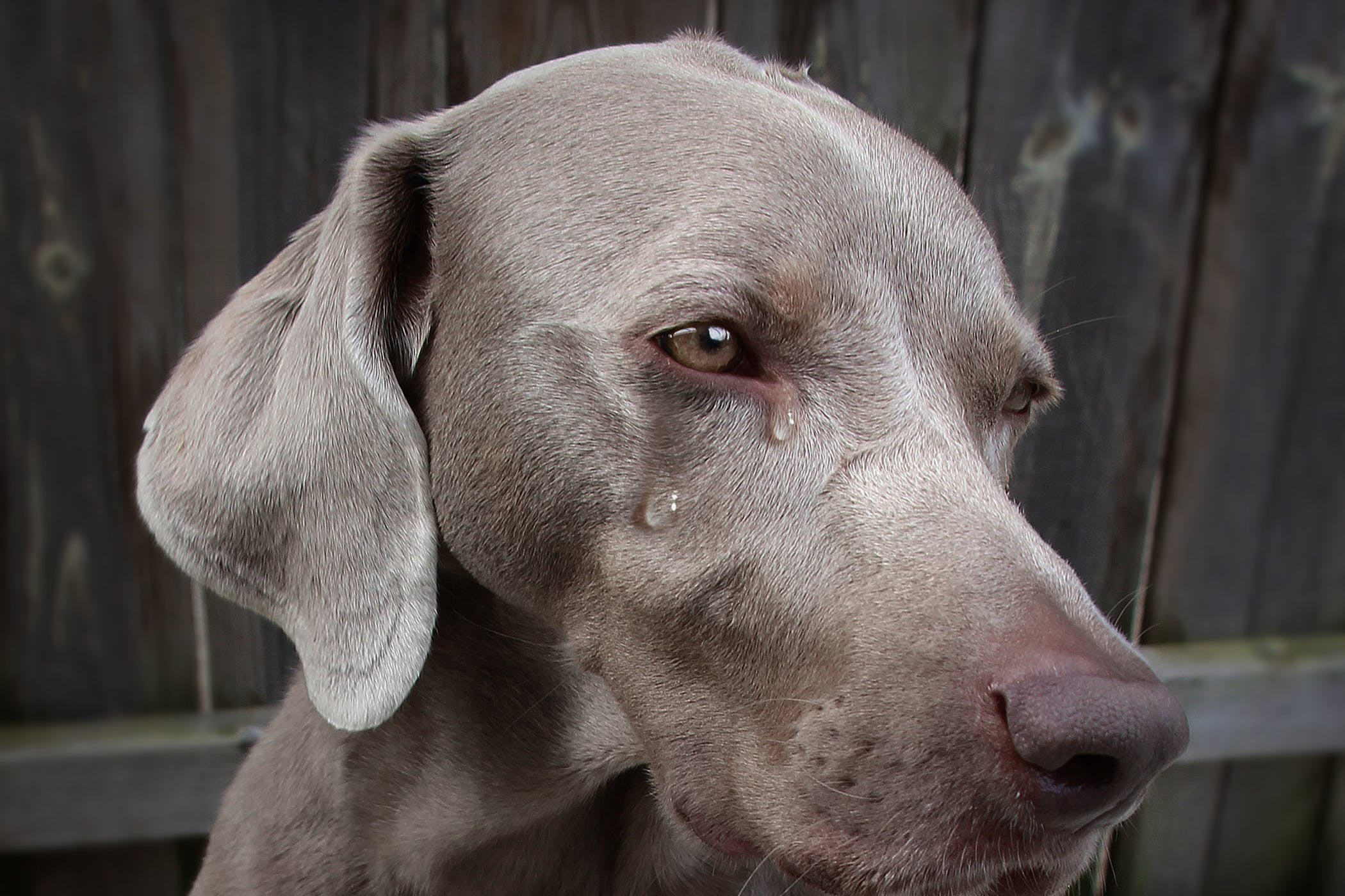 Crying In Dogs Definition Cause Solution Prevention Cost