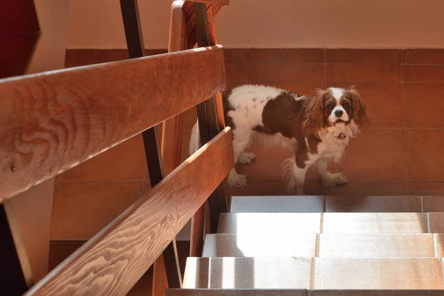 Why is my dog dizzy on the stairs?