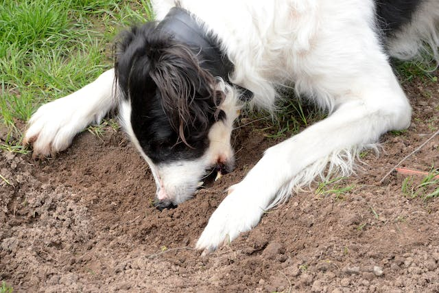 Why is my dog eating dirt?