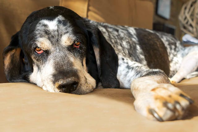 Why is my dog fatigued?