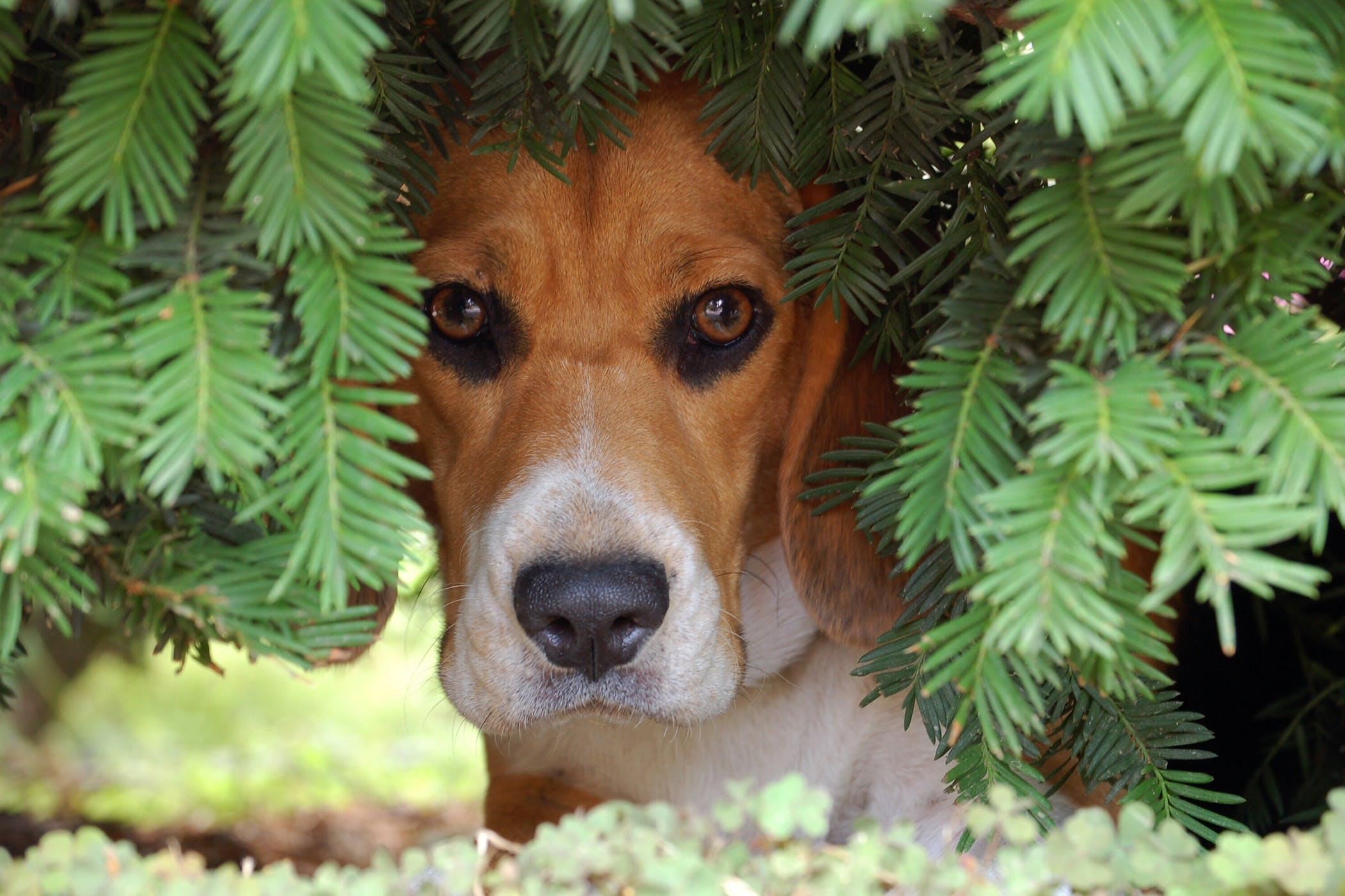 Hiding in Dogs - Definition, Cause, Solution, Prevention, Cost