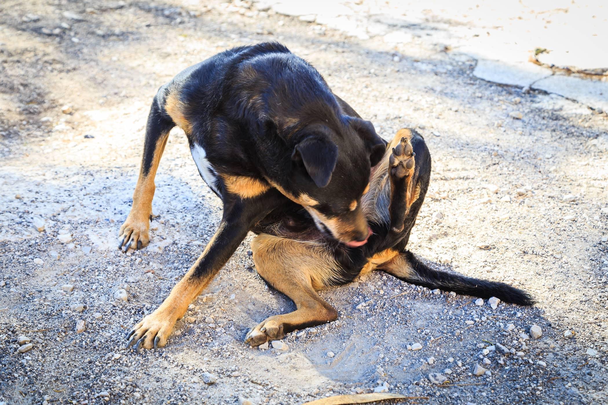 Dog Butt Scooting Goldenacresdogs
