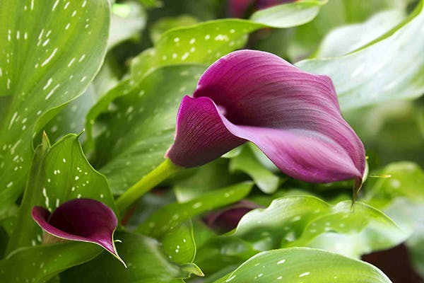 Wild Arum Poisoning in Dogs - Symptoms, Causes, Diagnosis, Treatment, Recovery, Management, Cost